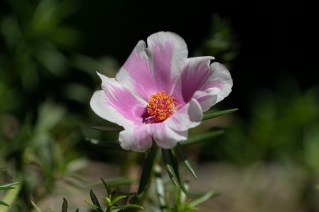 37 - Portulaca grandiflora