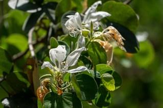 78 - Bauhinia variegata