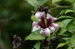 79 - Rothamannia longiflora