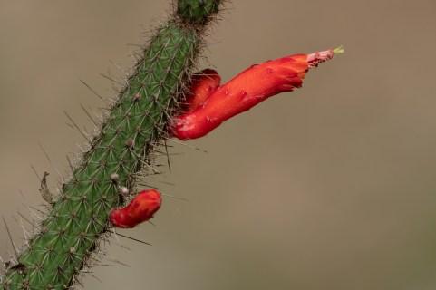 10 - Cleistocactus baumannii