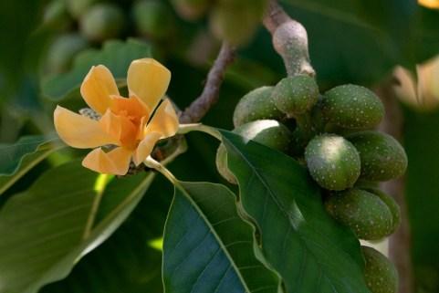 36 - Magnolia champaca
