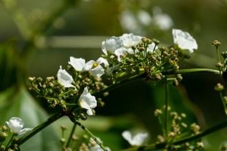 51 - Echinodorus grandiflorus