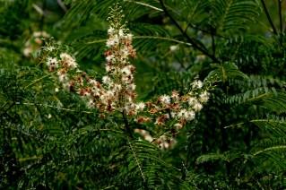 54 - Albizia polycephala