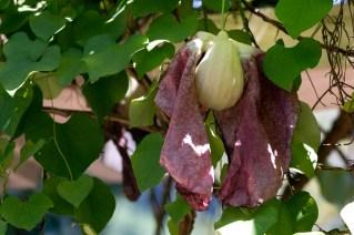 54 - Aristolochia gigantea