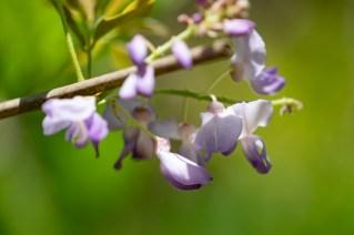 58 - Wisteria floribunda