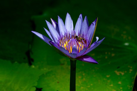 62 - Nymphaea capensis