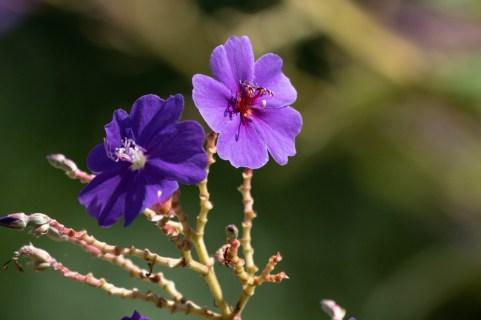 34 - Pleroma heteromallum
