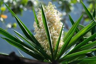 52 - Yucca aloifolia