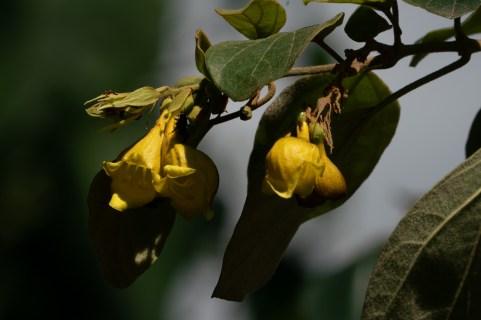 13 Gmelina asiatica
