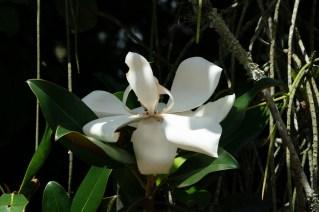 24 Magnolia grandiflora