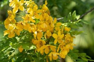 53 Cassia leptophylla