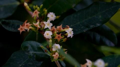 22 Mascaranhesia arborecens