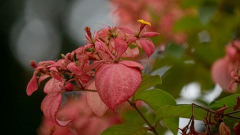 28 Mussaenda erythrophylla