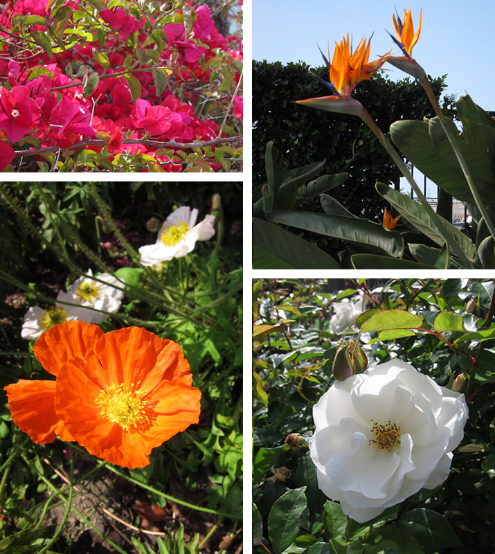 Top Left to Right: Bougainvillea, Birds of Paradise, Poppies, Roses