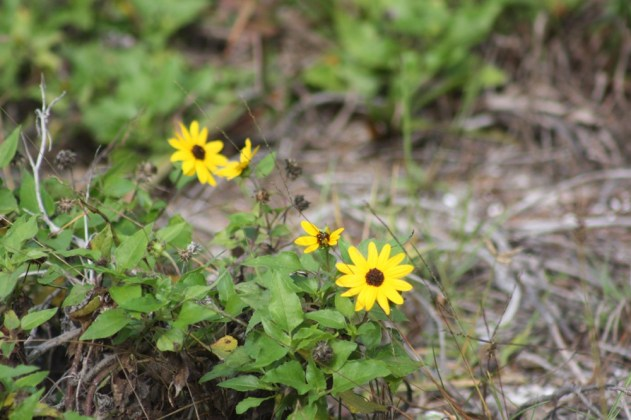 Beach sunflowers