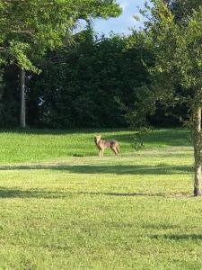 Wooten Coyote