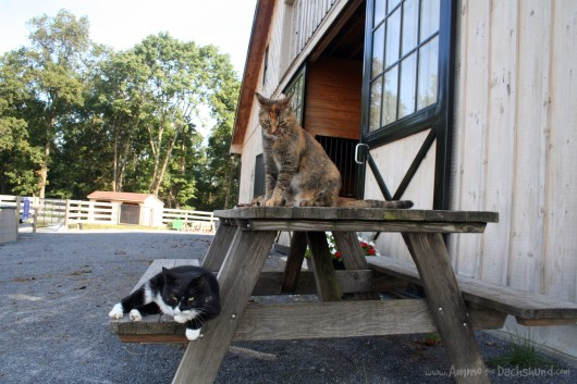 ammo the dachshund on the farm with the cats