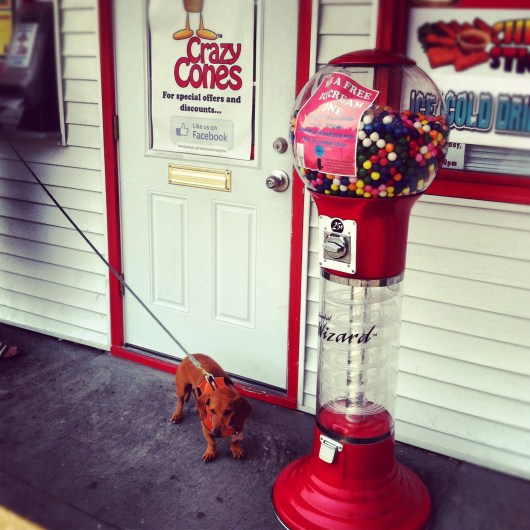 ammo the dachshund gets ice cream