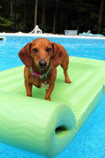 ammo the dachshund at the pool