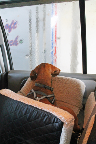 Ammo the Dachshund goes through the car wash