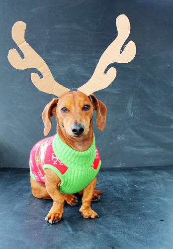 Ugly Sweaters and Holiday Cheer | Ammo the Dachshund