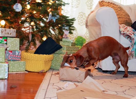 Ammo's Holiday Adventures // Ammo the Dachshund