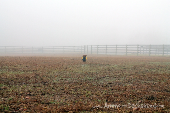 Ammo the Dachshund plays in the fog with his Farmyard Friends