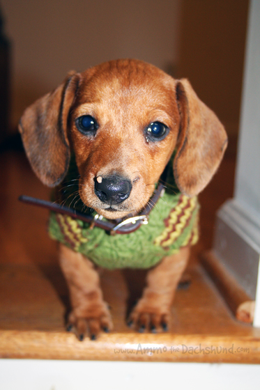 Throwback Thursday Sweater Weather Ammo The Dachshund