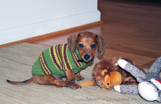 Throwback Thursday: Sweater Weather // Puppy Photos of Ammo the Dachshund
