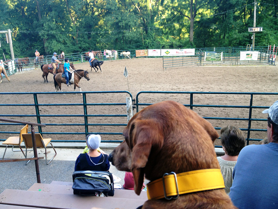 At the Rodeo // Team Penning // Ammo the Dachshund