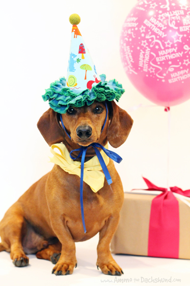 Happy Birthday Ammo The Dachshund Ammo The Dachshund