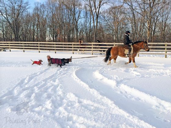 Sledding with the Ponies // Ammo the Dachshund