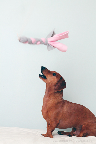 Valentine's Day DIY Flirt Pole - interactive dog toy // Ammo the Dachshund
