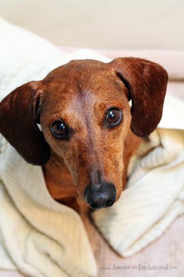 Dogtails Shampoo Review & Giveaway // Ammo the Dachshund