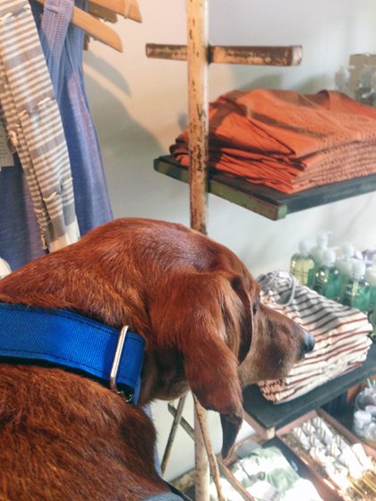 A Dog's Day at the Devon Horse Show // Ammo the Dachshund