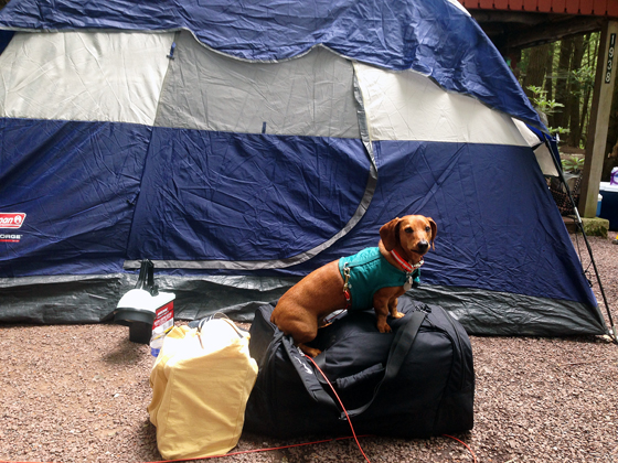 Camping in the Pocono Mountains with Ammo the Dachshund