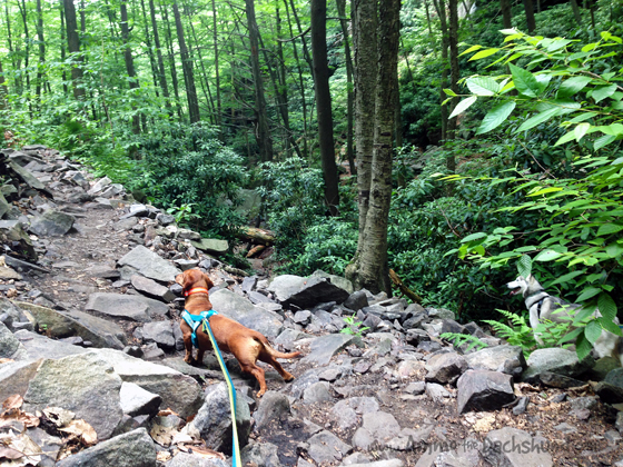 Hiking Glen Onoko Falls with Ammo the Dachshund