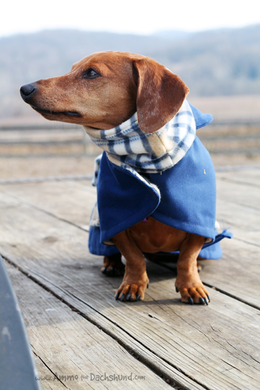 Savvy Dachshunds Clothing Boutique Review & Giveaway // Ammo the Dachshund