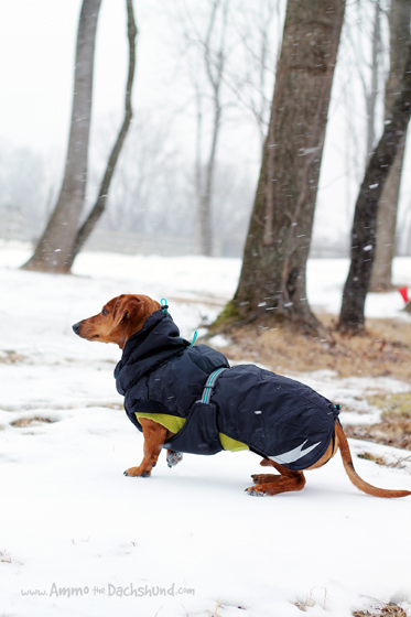 Winter on the Farm // Ammo the Dachshund