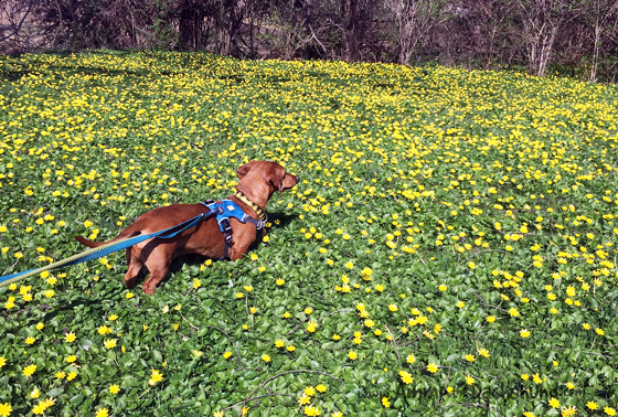 Ammo the Dachshund Runs through a Field of Buttercups