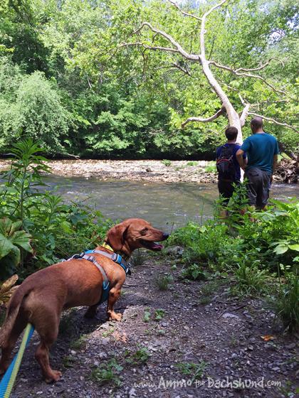 Oconaluftee Trail // Pet Friendly Smoky Mountains // Ammo the Dachshund