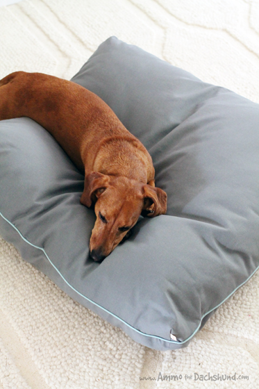 Peach Pillow Bed Kickstarter Campaign with Ammo the Dachshund