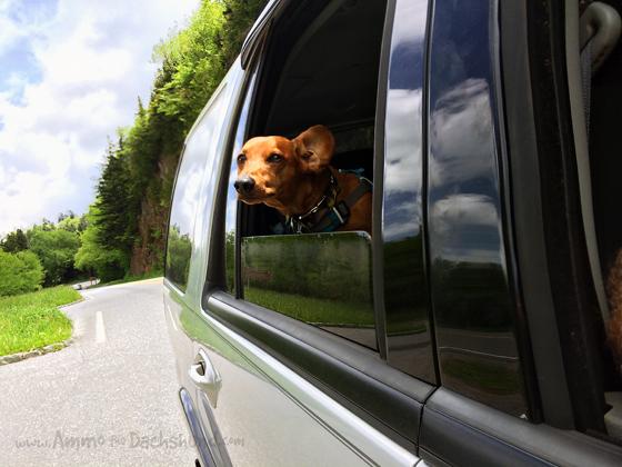 Skyline Drive // The Smokies // Pet Friendly // Ammo the Dachshund