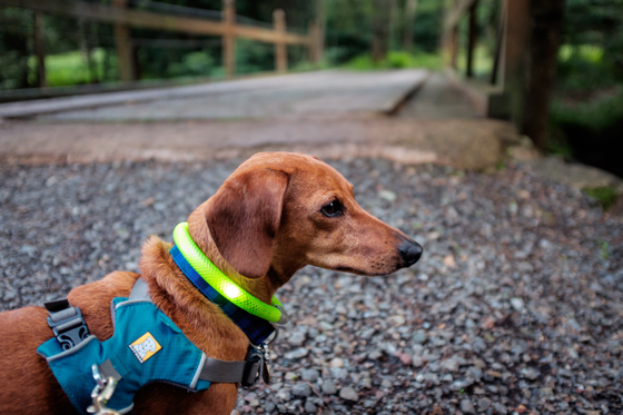 Ammo the Dachshund Goes Camping in the Woods