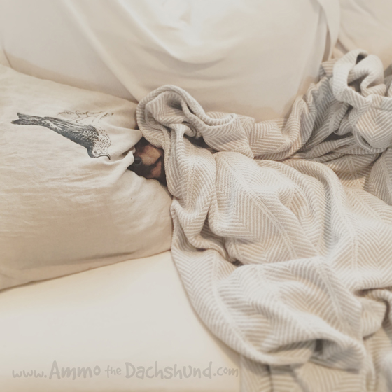 Oh The Places You Sleep: Vol. 7 with Ammo the Dachshund