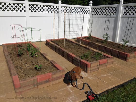 Ammo the Dachshund's Vegetable Garden