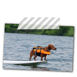 Ammo the Dachshund goes Paddleboarding