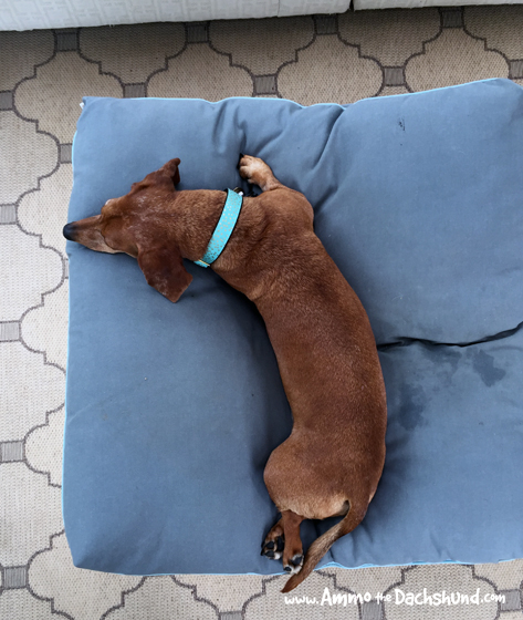 Oh The Places You Sleep: Vol. 18 with Ammo the Dachshund