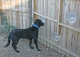 Kendra Peek/kendra.peek@amnews.com Bear looks through the fence.