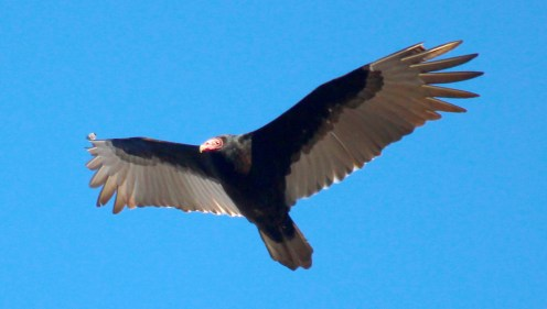 Ben Kleppinger/ben.kleppinger@amnews.com A turkey vulture glides through the air near downtown Danville Thursday afternoon. Turkey vultures can be differentiated from black vultures by the light feathers that extend the length of turkey vultures' wings.